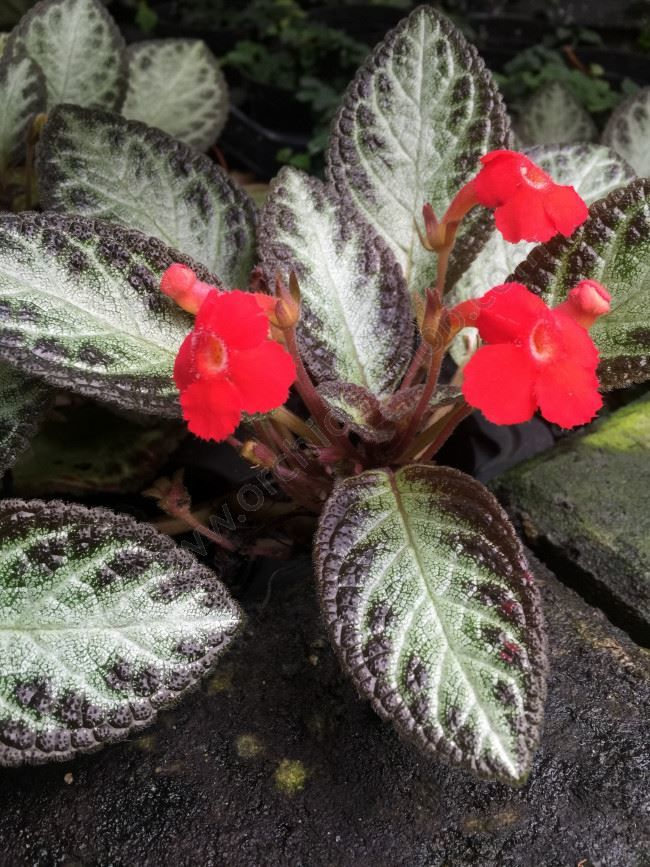 Фото растения эписция с листьями бесплатно