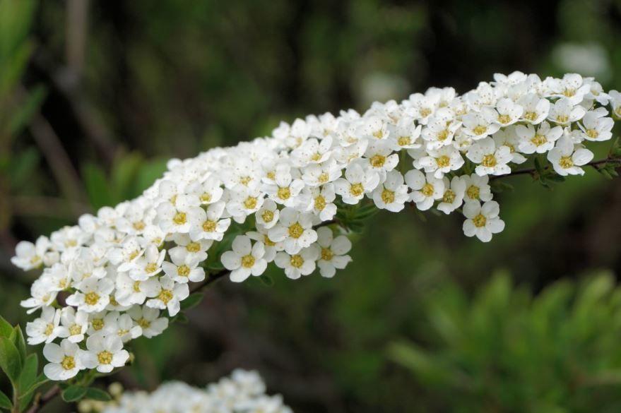 Фото и картинки осеннего растения спиреи грефшейм