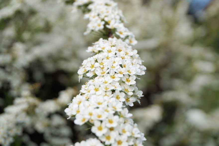 Смотреть фото растения спирея японская