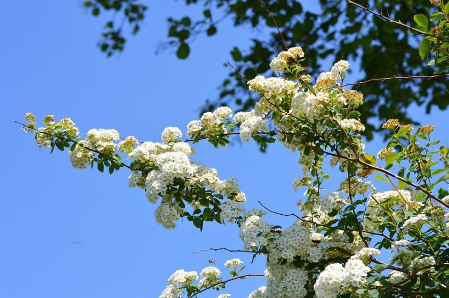 Купить фото осеннего растения спирея березолистная? Скачайте бесплатно