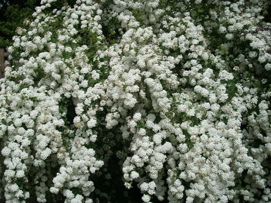 Скачать фото растения спиреи вангутты онлайн
