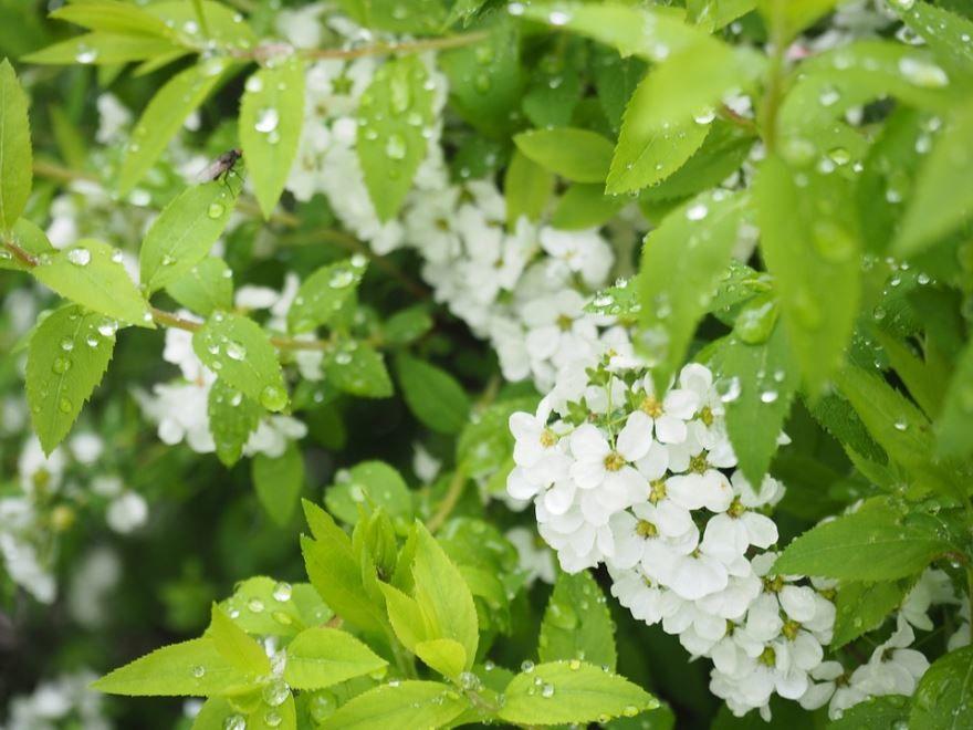 Лучшие фото японского, осеннего растения – спирея голдфлейм