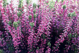 Скачать лучшие фото комнатного цветка – эрики