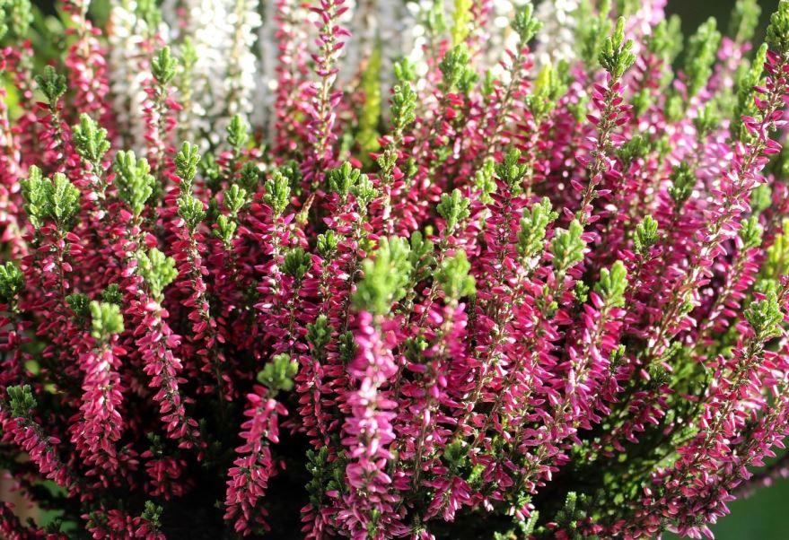 Фото и картинки растения эрики онлайн