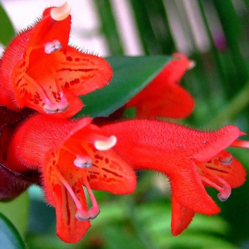 Прекрасное фото домашнего цветка эсхинантус онлайн