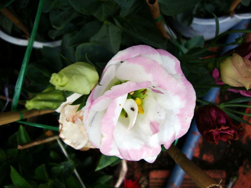 Купить фото многолетнего растения эустома? Скачайте бесплатно