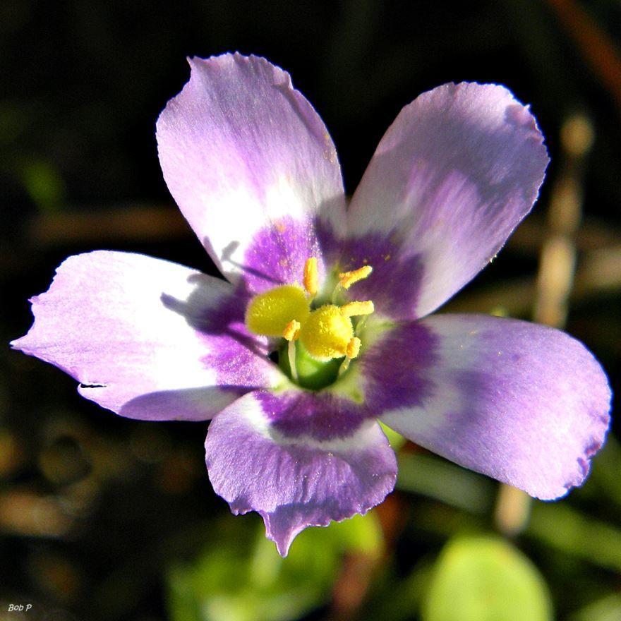 Смотреть фото цветка эустома, выращенного в домашних условиях
