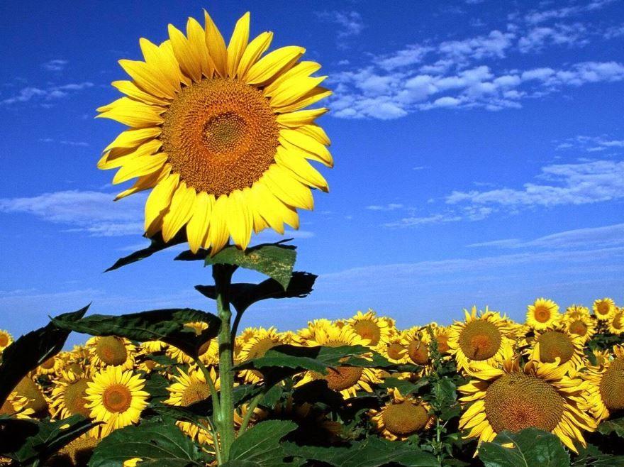Смотреть фото цветка подсолнечник, выращенного в домашних условиях
