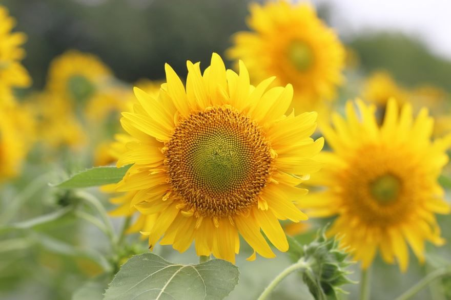 Купить фото многолетнего растения подсолнечник? Скачайте бесплатно