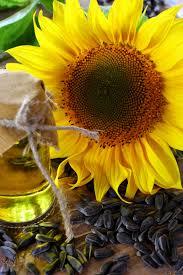 Фото и картинки растения подсолнечник, обладающего полезными свойствами