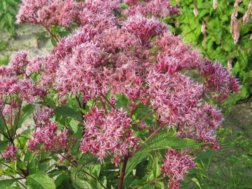 Фото и картинки растения посконник пятнистый онлайн