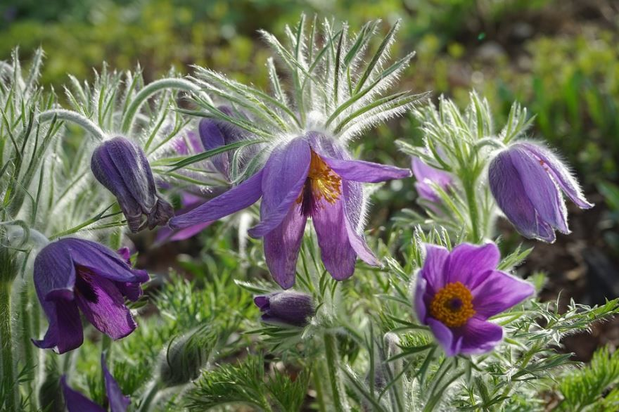 Фото и картинки растения прострел онлайн