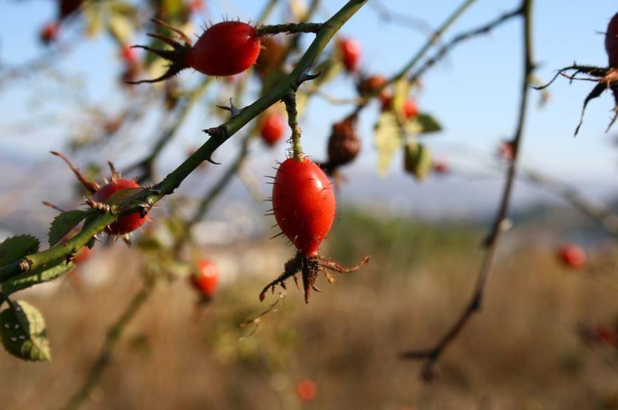 Скачать фото лечебного растения шиповника с противопоказаниями