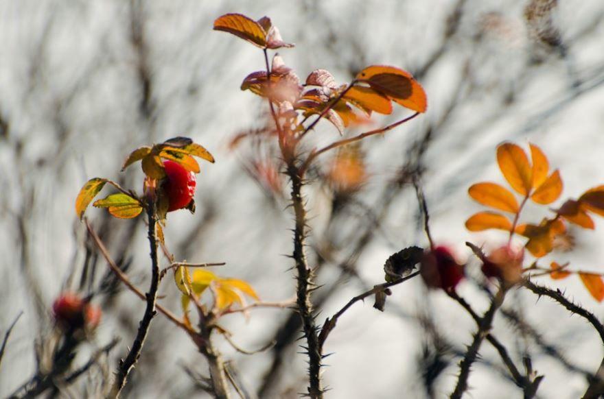 Фото и картинки лечебного растения шиповника онлайн