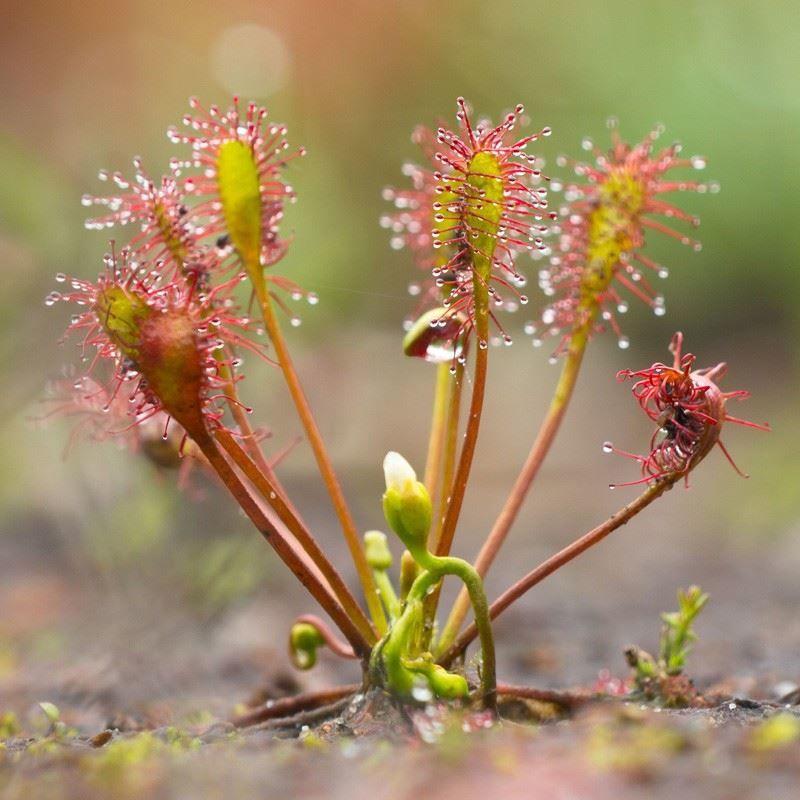 Купить фото растения - росянка хищная? Скачайте бесплатно
