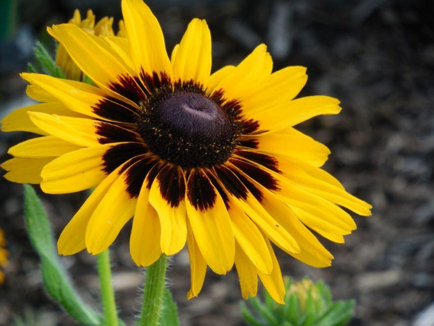 Фото и картинки растения рудбекия рассеченная онлайн