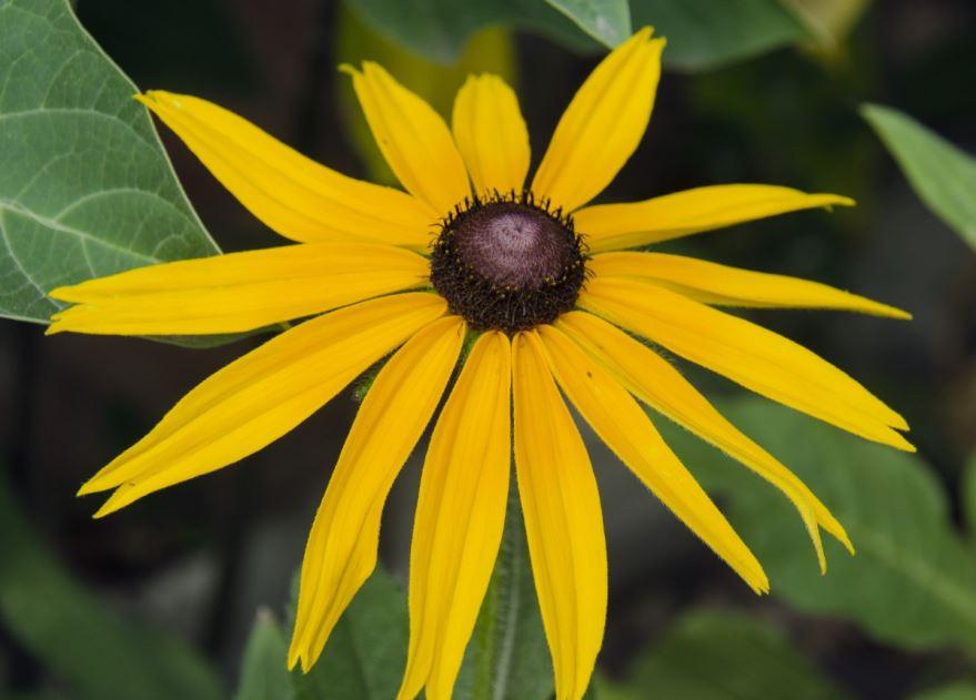 Скачать фото цветка золотой рудбекии, выращенного в открытом грунте