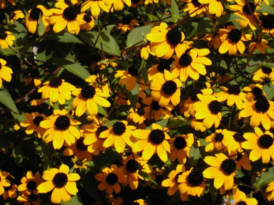 Фото растения рудбекия с листьями, посадка в открытый грунт бесплатно