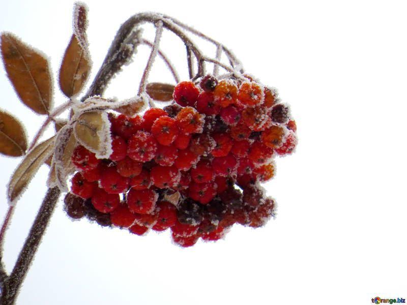 Купить фото осеннего растения – дерева рябины? Скачайте бесплатно