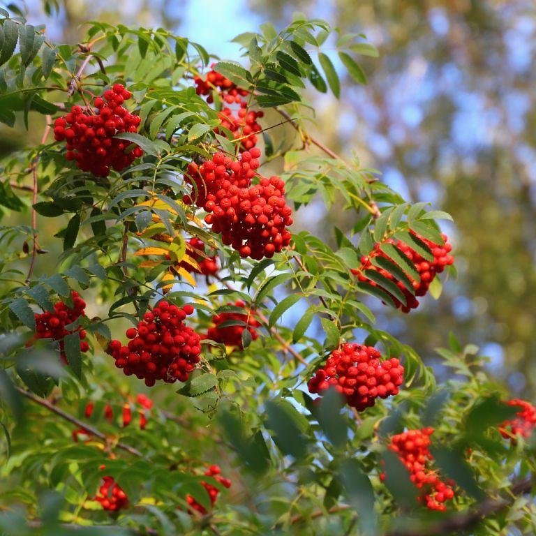 Скачать фото осенней рябины с листьями онлайн
