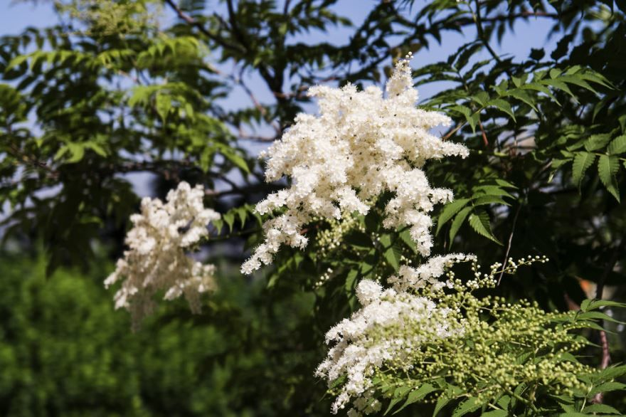 Смотреть фото осеннего растения рябинника онлайн
