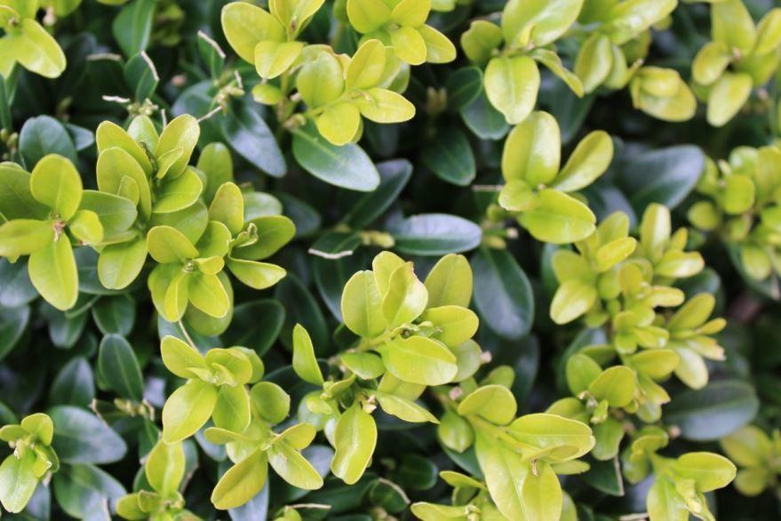 Скачать фото осеннего растения самшита вечнозеленого, выращенного в открытом грунте