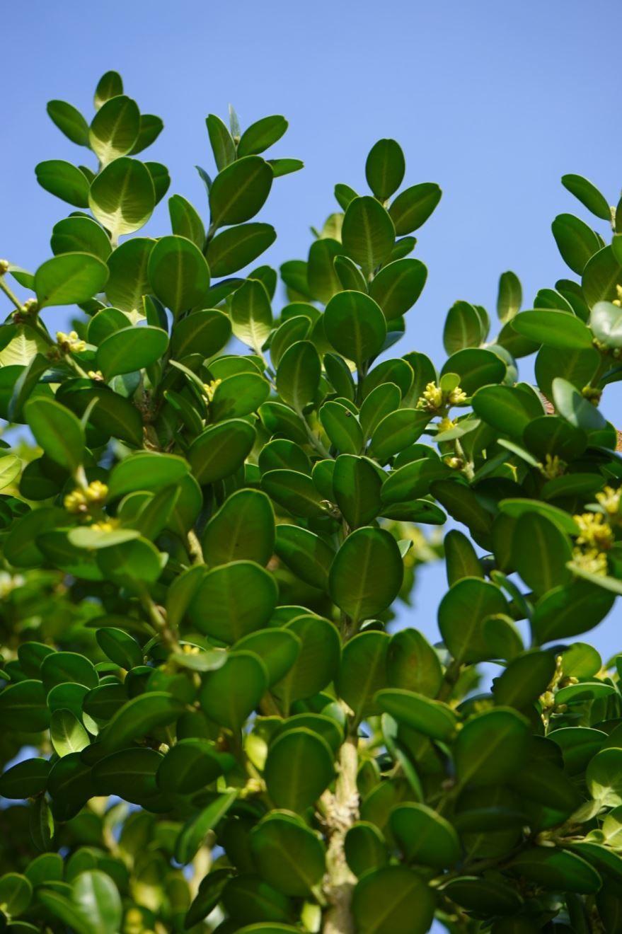 Фото растения самшит домашний с листьями, посадка в открытый грунт бесплатно