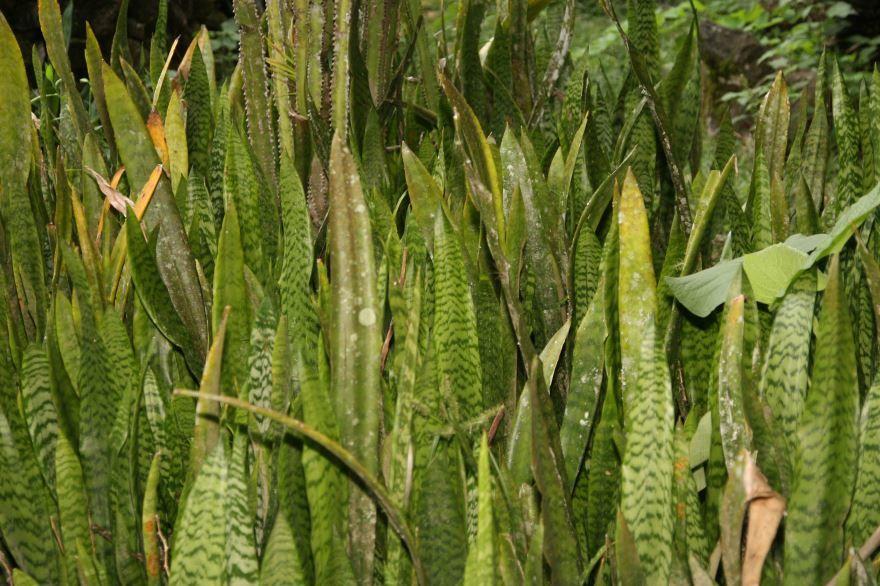 Скачать фото осеннего растения сансевиерии цилиндрической, выращенного в открытом грунте
