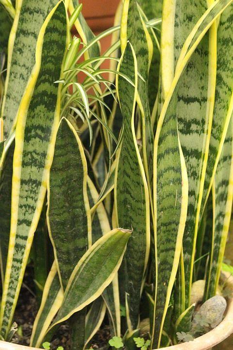Фото растения сансевиерии трехполосной, домашней с листьями, посадка в открытый грунт бесплатно