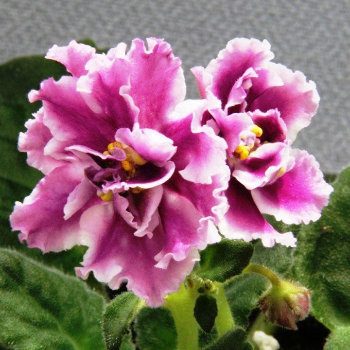Купить фото домашнего цветка сенполии? Скачайте бесплатно у нас