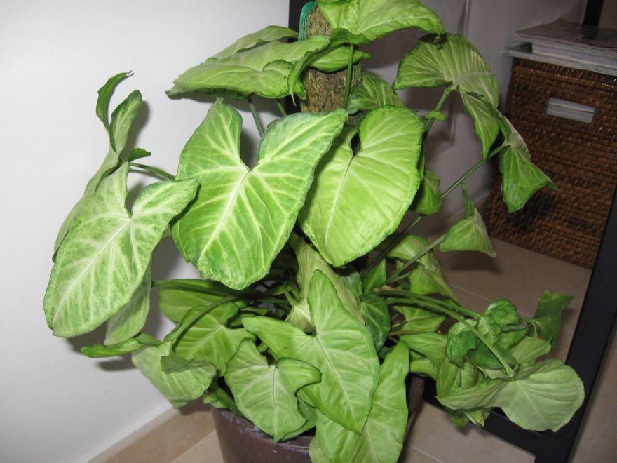 Фото растения сингониум домашний с листьями, посадка в открытый грунт бесплатно
