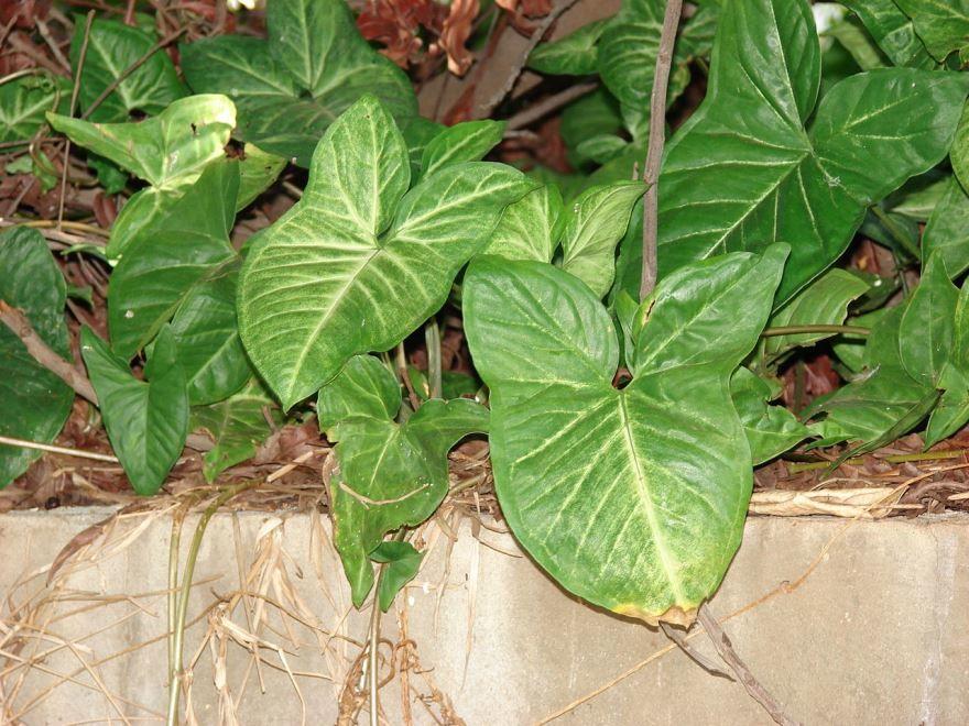 Купить фото домашнего цветка сингониум с листьями? Скачайте бесплатно у нас
