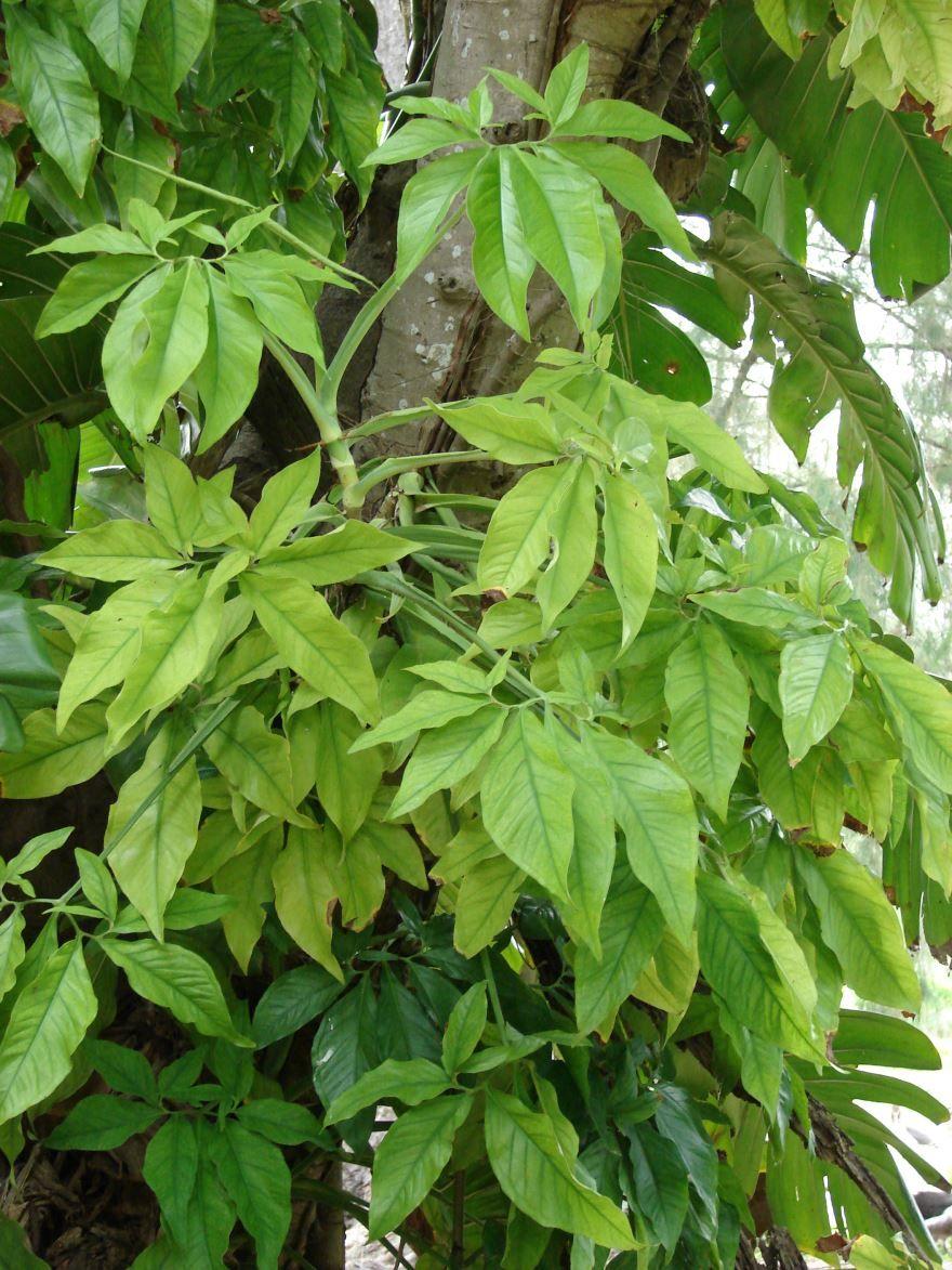 Скачать фото осеннего растения сингониум ножколистный, выращенного в открытом грунте