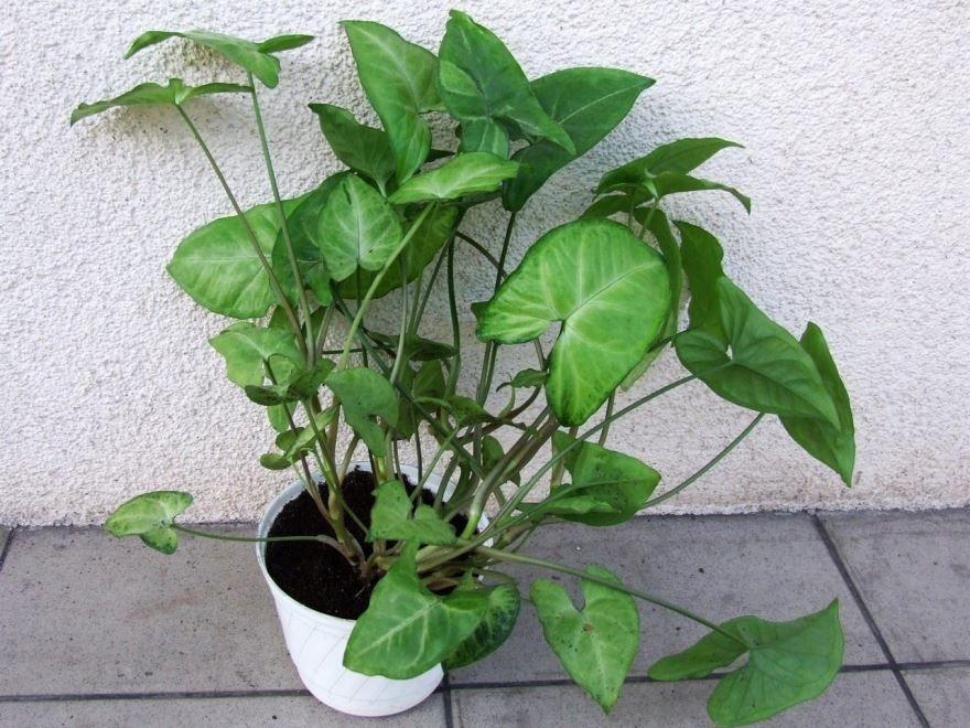 Фото ножколистного сингониума с листьями в домашних условиях онлайн