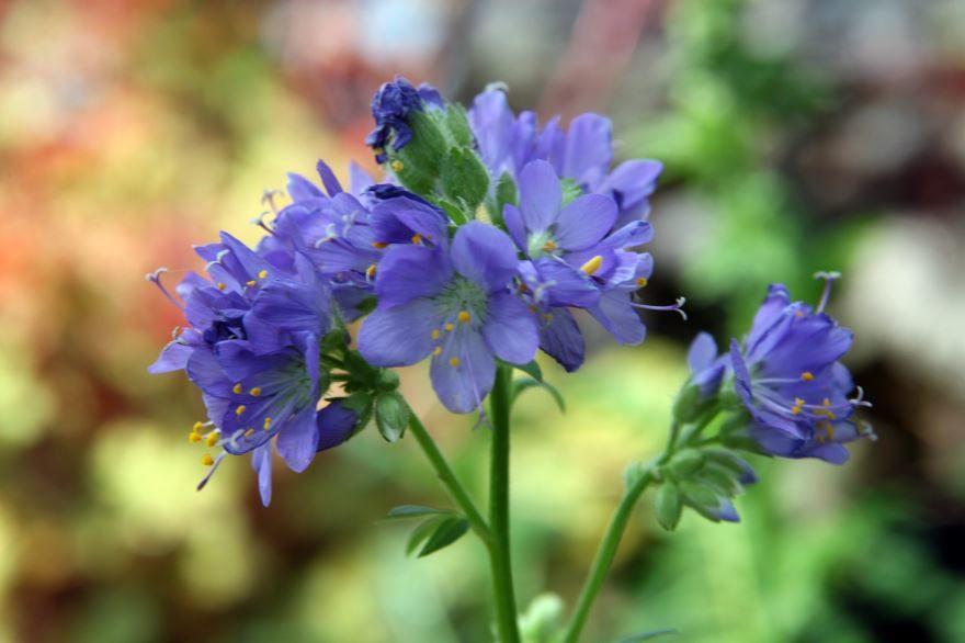 Фото и картинки растения синюха для посадки в открытый грунт