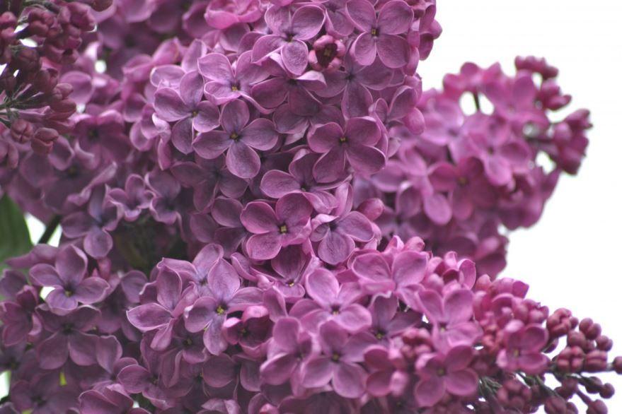 Смотреть фото цветущей сирени с ветками, листьями, цветками онлайн