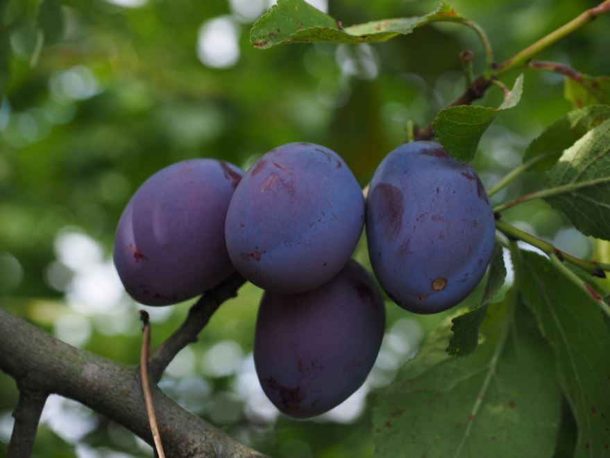 Купить фото фрукта сливы? Скачайте бесплатно