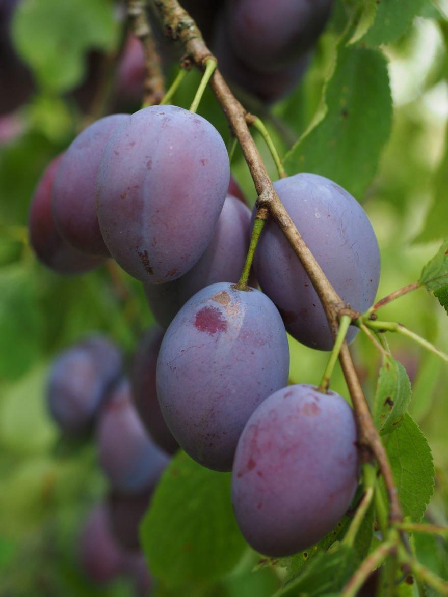 Фото сливы для рецептов вкусного, домашнего вина