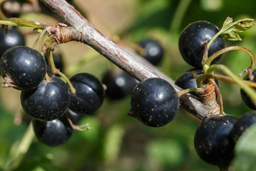 Фото черной смородины для вкусных, домашних рецептов