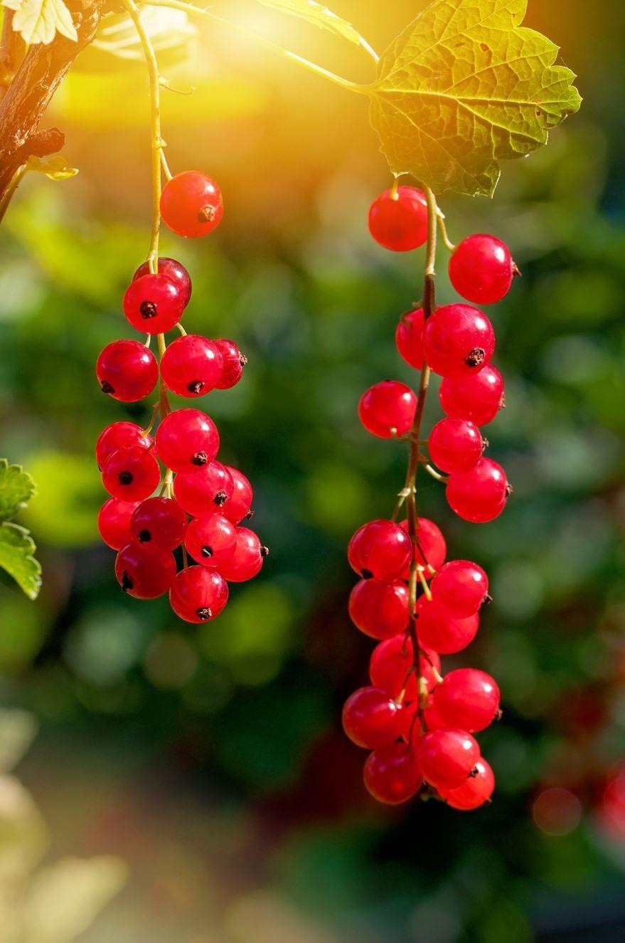 Бесплатные фото куста красной смородины с ягодами и листьями онлайн