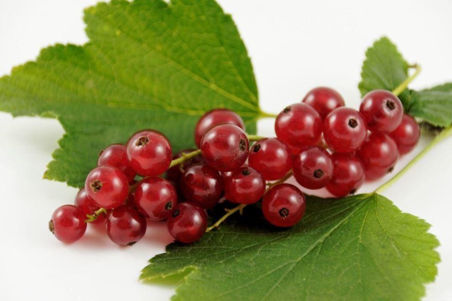Смотреть фото осенней, красной смородины, обладающей полезными свойствами и противопоказаниями