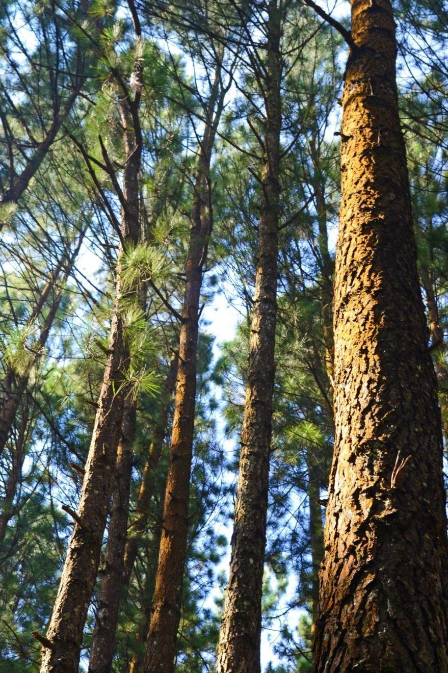 Смотреть онлайн фото дерева зеленой сосны с хвоинками