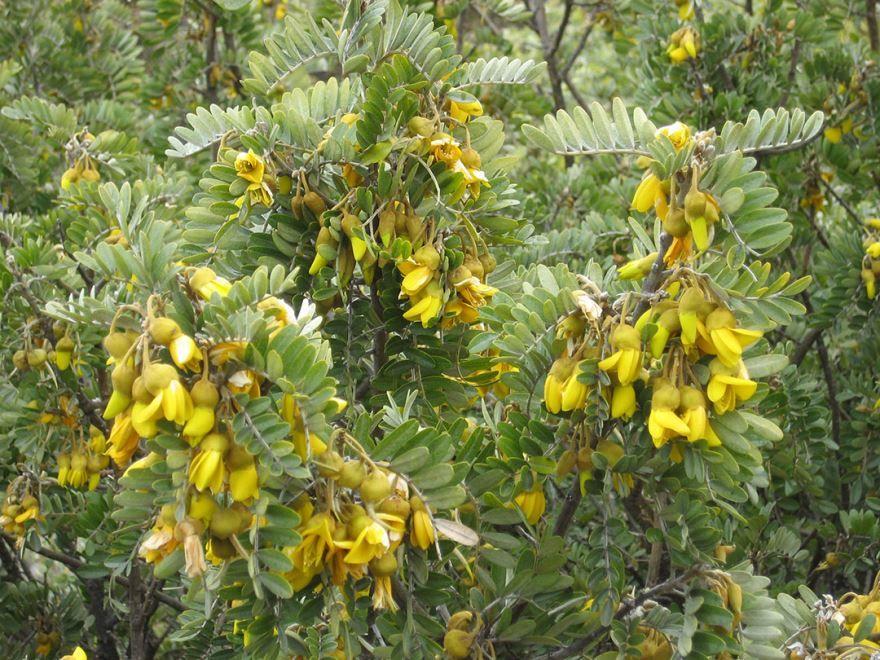 Фото растения софора, с лечебными свойствами из Москвы