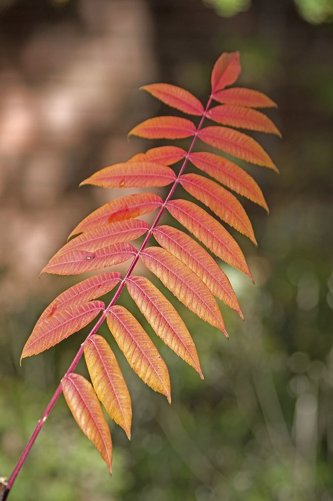 Фото растения сумаха домашняя с листьями, посадка в открытый грунт бесплатно