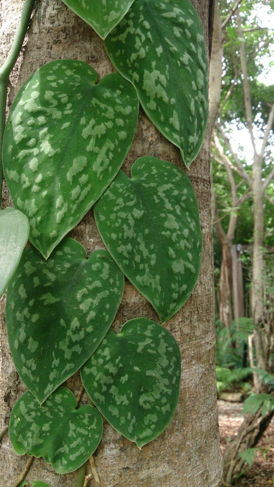 Фото растения сциндапсус домашний с листьями, посадка в открытый грунт бесплатно
