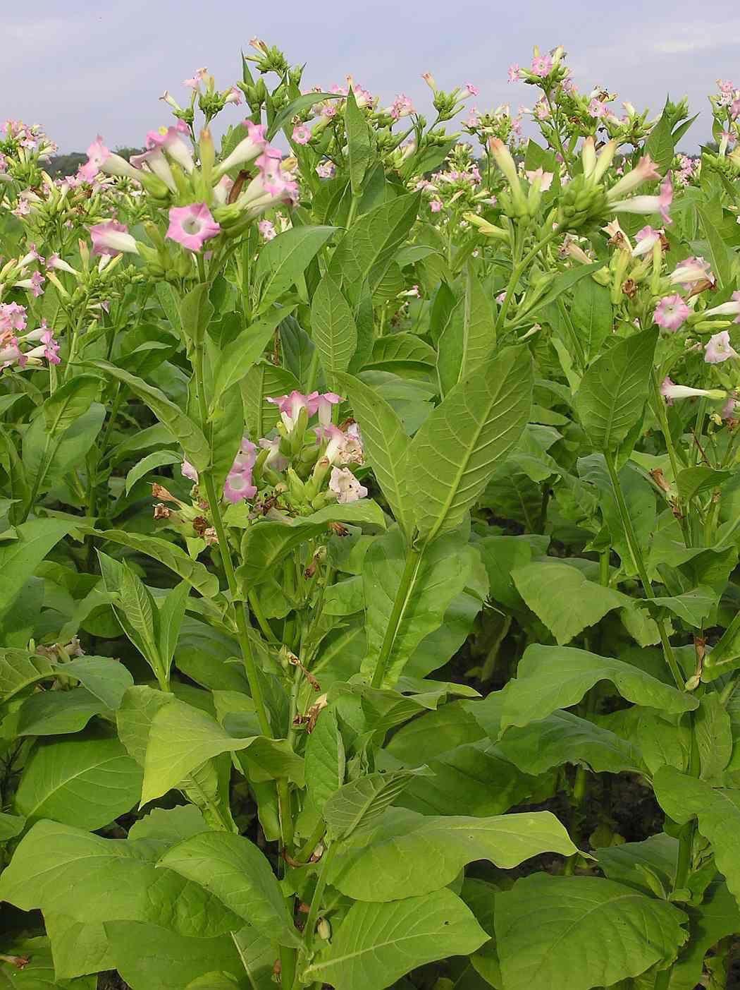Фото растения табак домашний с листьями, посадка в открытый грунт бесплатно