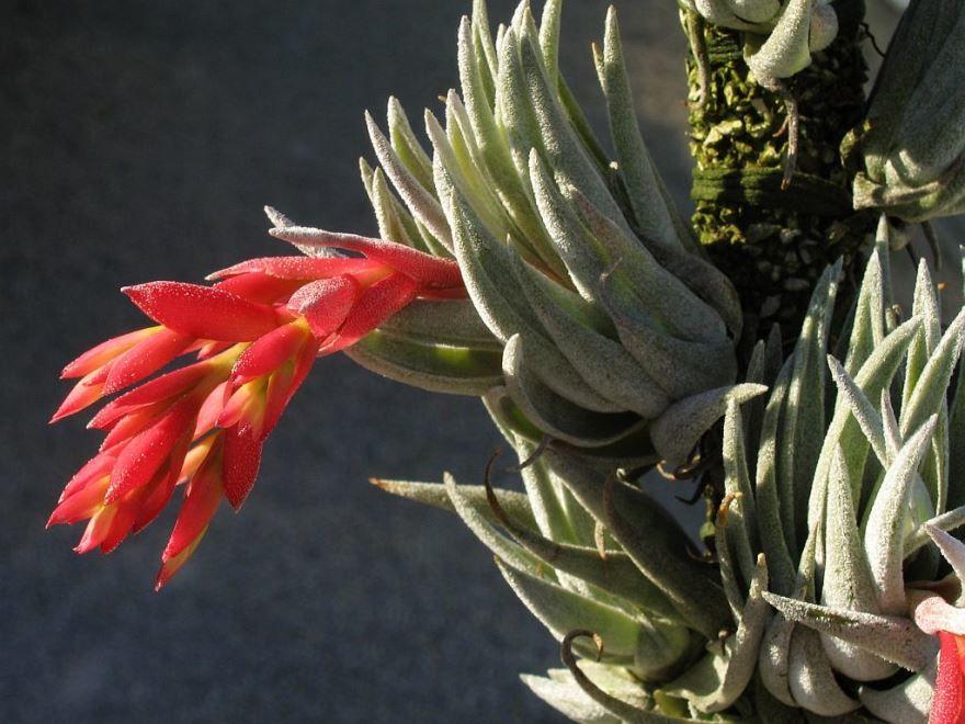Купить фото цветка тилландсии? Скачайте бесплатно