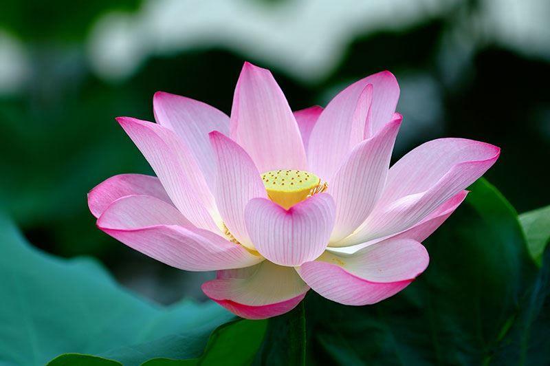 Смотреть фото зимнего цветка лотоса из Москвы на нашем официальном сайте
