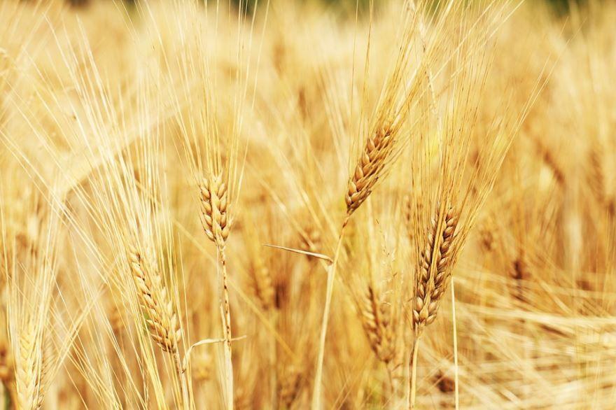 Купить фото колосьев озимой пшеницы с зернами? Скачайте бесплатно