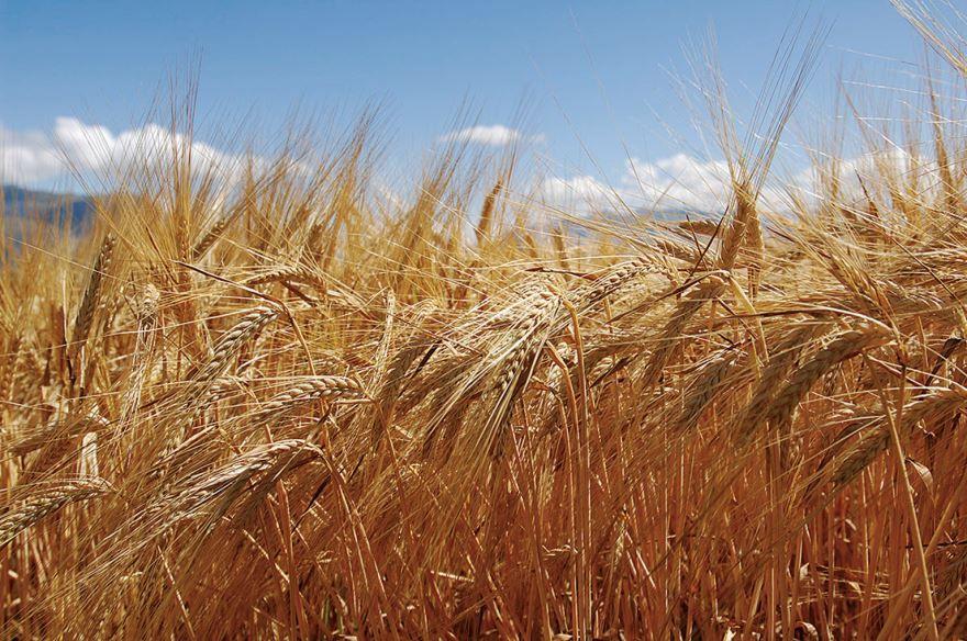 Смотреть фото колосьев пшеницы, выращенных в домашних условиях